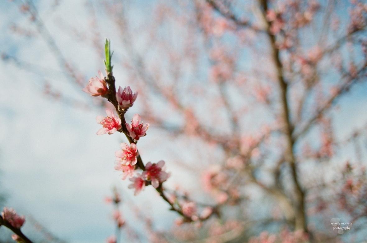 PeachBlossomFilm12